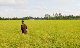 Giacimento del risone nel Vietnam del sud Immagini Stock Libere da Diritti