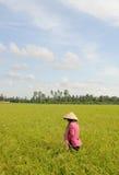 Giacimento del risone nel Vietnam del sud Immagini Stock