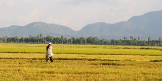 Giacimento del risone nel Vietnam del sud Fotografie Stock Libere da Diritti