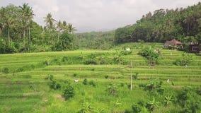 Giacimento del risone nella vista aerea asiatica della campagna Strada dell'automobile e piantagione verde del riso sulla vista d video d archivio