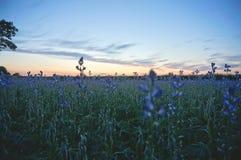 Giacimento del seme di lino al tramonto Fotografia Stock Libera da Diritti