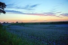 Giacimento del seme di lino al tramonto Immagini Stock