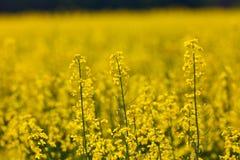 Giacimento del seme di ravizzone Immagine Stock Libera da Diritti