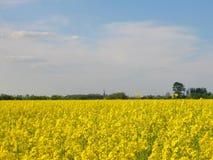 Giacimento del seme di ravizzone Fotografia Stock Libera da Diritti