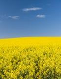 Giacimento del seme di ravizzone Immagini Stock Libere da Diritti