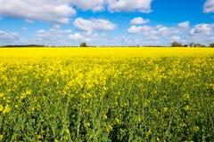 Giacimento del seme di ravizzone Fotografie Stock Libere da Diritti