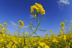 Giacimento del seme di ravizzone Fotografia Stock