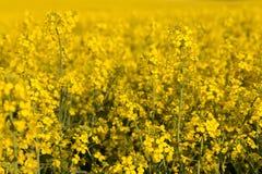 Giacimento del seme di ravizzone Fotografie Stock