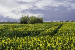 Giacimento del seme di ravizzone - cielo drammatico immagine stock libera da diritti