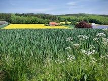 Giacimento del seme di ravizzone con i wildflowers nella priorità alta Immagine Stock