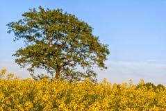 Giacimento del seme di ravizzone con l'albero Fotografie Stock Libere da Diritti