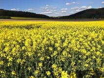 Giacimento del seme di ravizzone con le colline nei precedenti Fotografia Stock Libera da Diritti