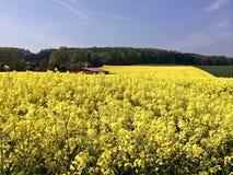 Giacimento del seme di ravizzone con le colline nei precedenti Immagini Stock Libere da Diritti