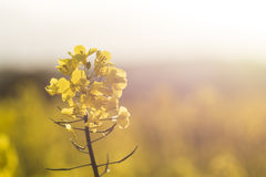 Giacimento del seme di ravizzone, Cornovaglia, Regno Unito Fotografie Stock