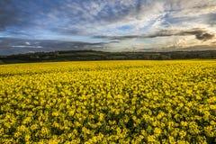 Giacimento del seme di ravizzone, Cornovaglia, Regno Unito Fotografia Stock