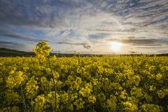 Giacimento del seme di ravizzone, Cornovaglia, Regno Unito Fotografie Stock Libere da Diritti