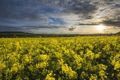 Giacimento del seme di ravizzone, Cornovaglia, Regno Unito Immagini Stock Libere da Diritti