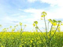 Giacimento del seme di ravizzone in Dobrogea fotografia stock