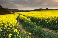 Giacimento del seme di ravizzone dopo il tramonto Fotografia Stock Libera da Diritti