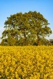 Giacimento del seme di ravizzone e grande albero fotografie stock libere da diritti