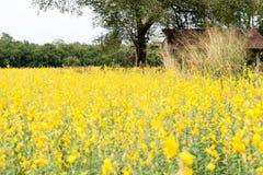 Giacimento del seme di ravizzone, fiori di fioritura del canola vicino su Violenza sul fi Immagine Stock Libera da Diritti