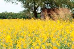 Giacimento del seme di ravizzone, fiori di fioritura del canola vicino su Violenza sul fi Fotografia Stock Libera da Diritti
