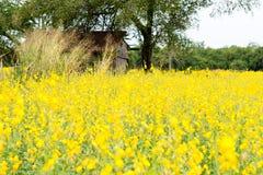 Giacimento del seme di ravizzone, fiori di fioritura del canola vicino su Violenza sul fi Fotografia Stock
