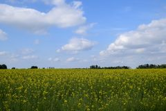 Giacimento del seme di ravizzone Fiori gialli della violenza, paesaggio del campo Cielo blu e violenza sul campo Immagini Stock