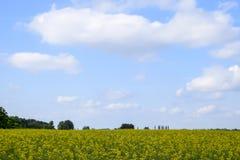 Giacimento del seme di ravizzone Fiori gialli della violenza, paesaggio del campo Cielo blu e violenza sul campo Fotografia Stock