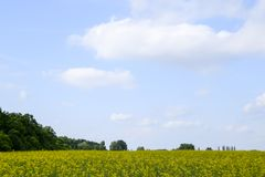 Giacimento del seme di ravizzone Fiori gialli della violenza, paesaggio del campo Cielo blu e violenza sul campo Immagini Stock Libere da Diritti