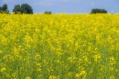 Giacimento del seme di ravizzone Fiori gialli della violenza, paesaggio del campo Cielo blu e violenza sul campo Immagine Stock Libera da Diritti