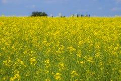 Giacimento del seme di ravizzone Fiori gialli della violenza, paesaggio del campo Cielo blu e violenza sul campo Fotografia Stock Libera da Diritti