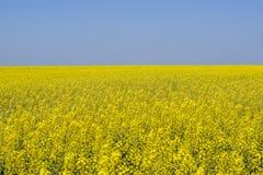 Giacimento del seme di ravizzone Fiori gialli della violenza, paesaggio del campo Cielo blu e violenza sul campo Immagine Stock