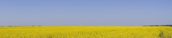 Giacimento del seme di ravizzone Fiori gialli della violenza, paesaggio del campo Cielo blu e violenza sul campo Fotografie Stock
