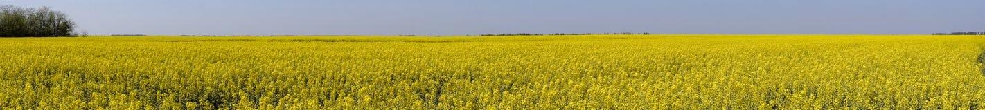 Giacimento del seme di ravizzone Fiori gialli della violenza, paesaggio del campo Cielo blu e violenza sul campo Fotografie Stock Libere da Diritti