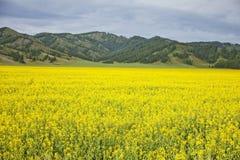 Giacimento del seme di ravizzone Fiori gialli Paesaggio di Altai della montagna Fotografia Stock