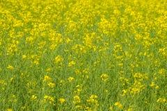 Giacimento del seme di ravizzone Fondo dei fiori della violenza Violenza di fioritura sul campo Immagine Stock