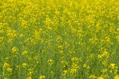 Giacimento del seme di ravizzone Fondo dei fiori della violenza Violenza di fioritura sul campo Fotografie Stock