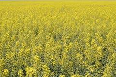 Giacimento del seme di ravizzone Fondo dei fiori della violenza Violenza di fioritura sul campo Immagini Stock Libere da Diritti