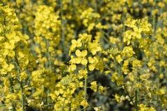 Giacimento del seme di ravizzone Fondo dei fiori della violenza Violenza di fioritura sul campo Fotografia Stock