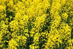 Giacimento del seme di ravizzone Fondo dei fiori della violenza Violenza di fioritura sul campo Fotografia Stock Libera da Diritti