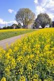 Giacimento del seme di ravizzone in il tempo di primavera immagini stock