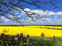Giacimento del seme di ravizzone nel sole di primavera Fotografia Stock