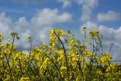 Giacimento del seme di ravizzone nella primavera Fotografia Stock Libera da Diritti