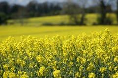 Giacimento del seme di ravizzone nella primavera Immagine Stock