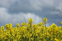 Giacimento del seme di ravizzone nella primavera Immagini Stock