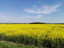 Giacimento del seme di ravizzone in primavera Fotografie Stock Libere da Diritti