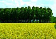 Giacimento del seme di ravizzone in primavera Immagini Stock Libere da Diritti