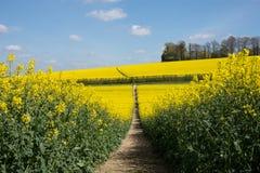 Giacimento del seme di ravizzone in primavera Fotografie Stock