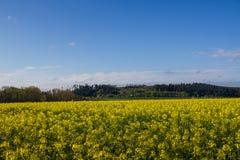 Giacimento del seme di senape Fotografie Stock Libere da Diritti